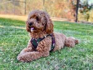 Cheap Cavapoo Puppies for Adoption – Puppies for Sale under $1000 near me