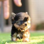 Where to find Teacup Yorkie Puppies for Sale Up to $400 – Teacup Yorkie Puppy Adoption